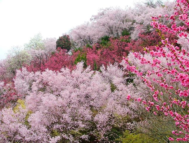 花見山公園_福島に桃源郷あり_d0348249_10255380.jpg