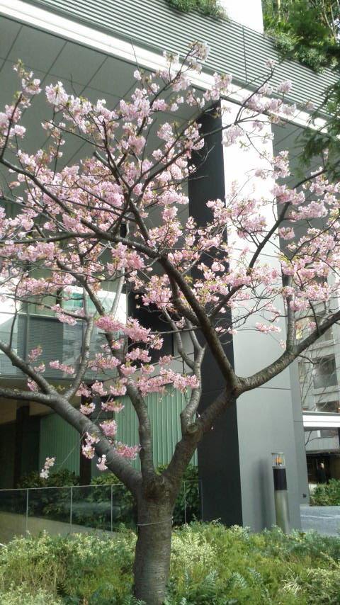 桜・カワズザクラ(バラ科)_d0339676_1752611.jpg