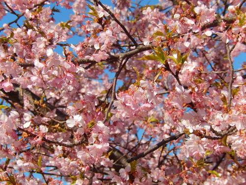 お花見...桜と富士と菜の花_b0137932_22151715.jpg