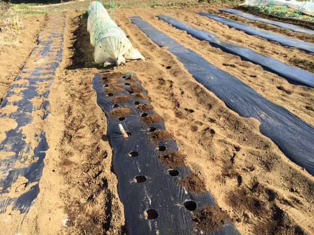 今朝は じゃがいも キタアカリの種イモ植え付け続きです _c0222448_12223133.jpg