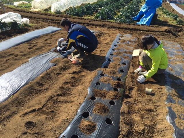 今朝は じゃがいも キタアカリの種イモ植え付け続きです _c0222448_12224249.jpg