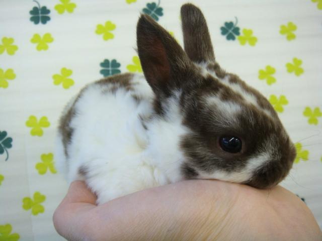 160304 ウサギ・モモンガ・ハリネズミ・ハムスター_f0189122_1632584.jpg