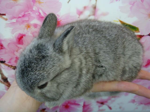 160304 ウサギ・モモンガ・ハリネズミ・ハムスター_f0189122_16392336.jpg