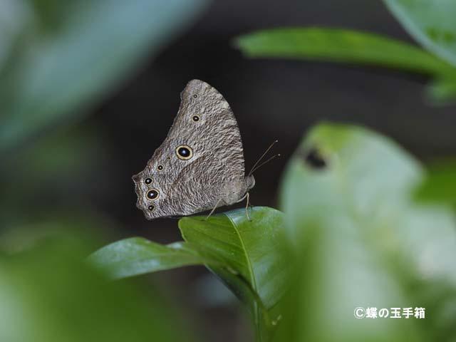 オフシーズン特集47 (ウスイロコノマチョウ) : 蝶の玉手箱