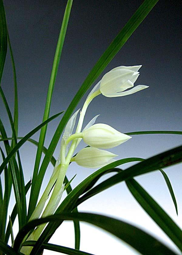 蓮弁蘭「白馬雪山」                     No.557_f0178953_01032463.jpg