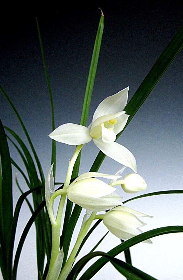 蓮弁蘭「白馬雪山」                     No.557_f0178953_01034723.jpg