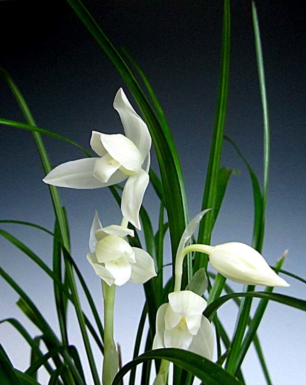 蓮弁蘭「白馬雪山」                     No.557_f0178953_01040464.jpg