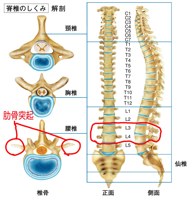 「腰椎横突起」の画像検索結果