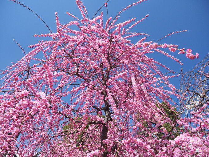 ーー京都、城南宮!の、しだれ梅!見頃です。ーー_d0060693_17314928.jpg