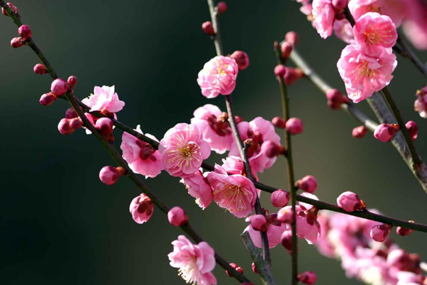 梅の画像 p1_24