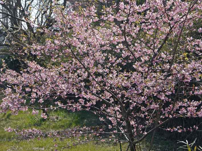 野口初太郎翁頌徳碑の建立地の河津桜が満開3・3_c0014967_15164741.jpg