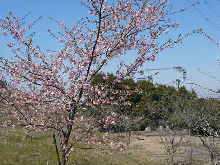 野口初太郎翁頌徳碑の建立地の河津桜が満開3・3_c0014967_15173114.jpg