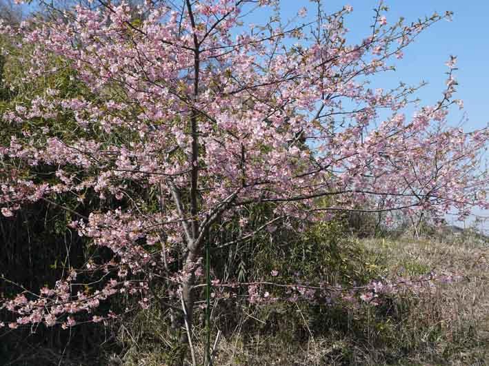 野口初太郎翁頌徳碑の建立地の河津桜が満開3・3_c0014967_15174839.jpg