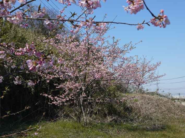 野口初太郎翁頌徳碑の建立地の河津桜が満開3・3_c0014967_15175615.jpg