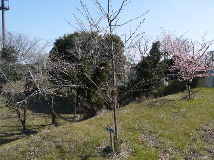 野口初太郎翁頌徳碑の建立地の河津桜が満開3・3_c0014967_15183039.jpg