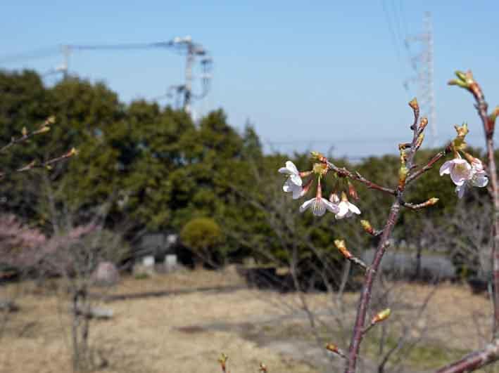 野口初太郎翁頌徳碑の建立地の河津桜が満開3・3_c0014967_1518723.jpg