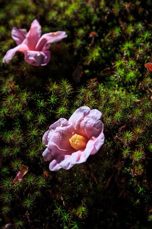苔に咲く(等持院・有楽椿)_f0155048_22425954.jpg