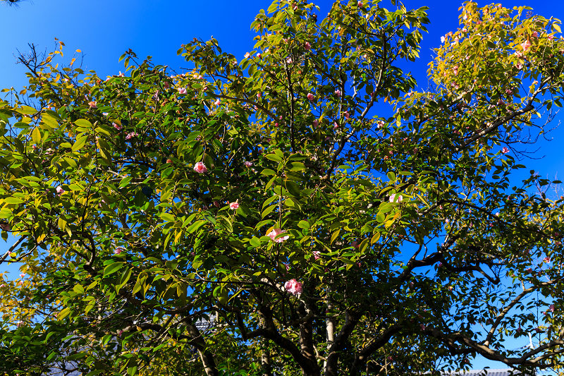 苔に咲く(等持院・有楽椿)_f0155048_22433016.jpg