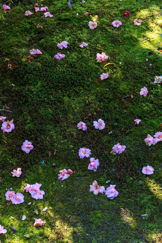 苔に咲く(等持院・有楽椿)_f0155048_22443424.jpg