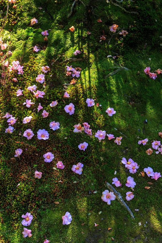 苔に咲く(等持院・有楽椿)_f0155048_22445814.jpg