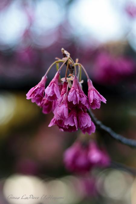 花のある風景 ちょっと遅かったカンヒザクラ_b0133053_013183.jpg