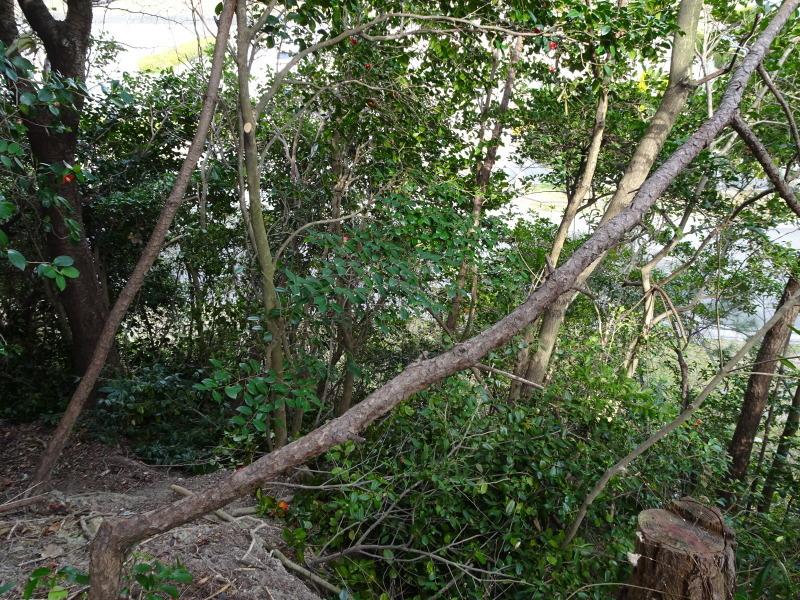 ヤブツバキの景観確保のための盗伐が続いている・・・うみべの森_c0108460_23422484.jpg
