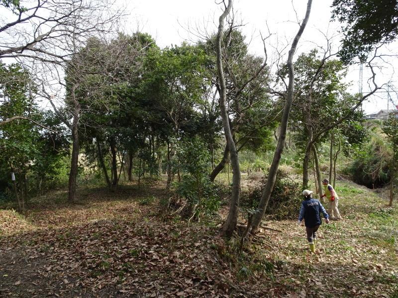 ヤブツバキの景観確保のための盗伐が続いている・・・うみべの森_c0108460_23422693.jpg