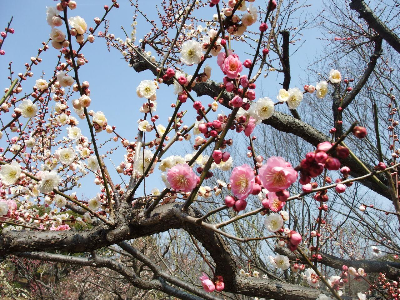 花粉症と梅_b0204691_15542241.jpg