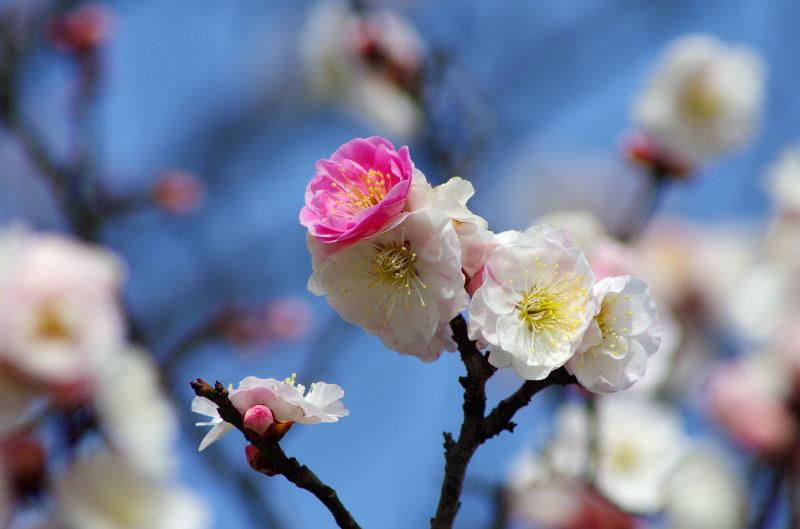 花粉症と梅_b0204691_1554344.jpg