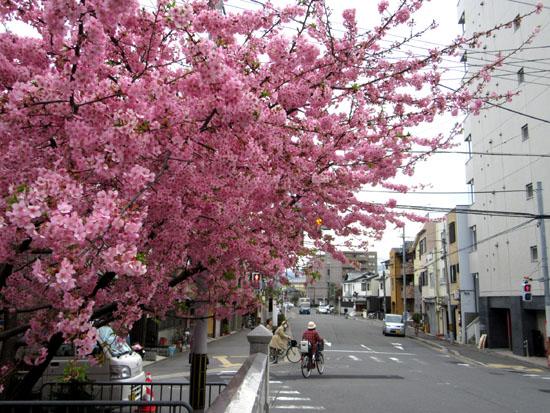16桜たより1 一条戻り橋_e0048413_18364418.jpg