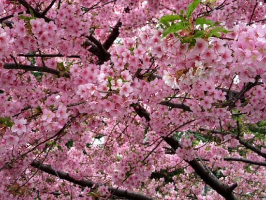 16桜たより1 一条戻り橋_e0048413_18365548.jpg