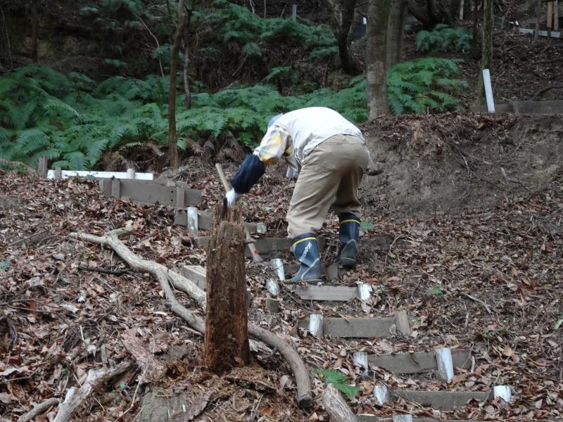 ヤブツバキの景観確保のための盗伐が続いている・・・うみべの森_c0108460_00085398.jpg