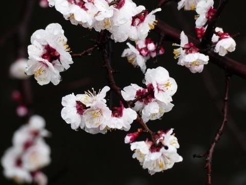 梅から桜へ..._a0351368_21564226.jpg