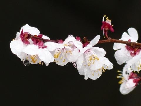 梅から桜へ..._a0351368_21571747.jpg