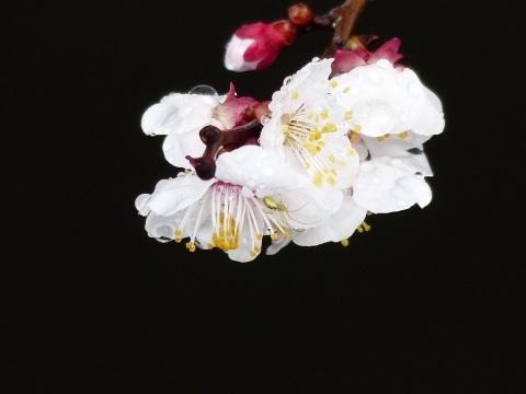梅から桜へ..._a0351368_21573726.jpg