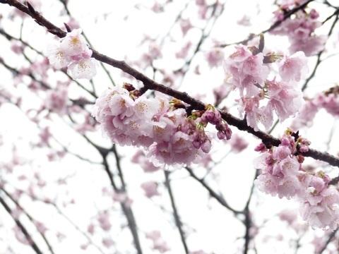 梅から桜へ..._a0351368_21593558.jpg