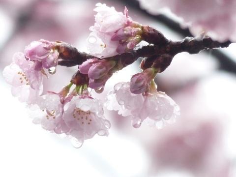 梅から桜へ..._a0351368_22000198.jpg