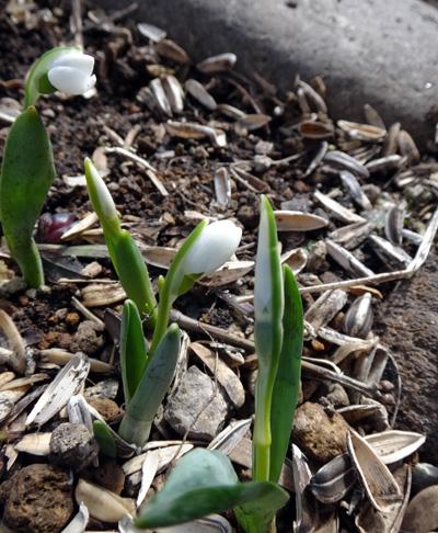 雪解けが進んだ庭の花一輪♪_a0136293_19375563.jpg