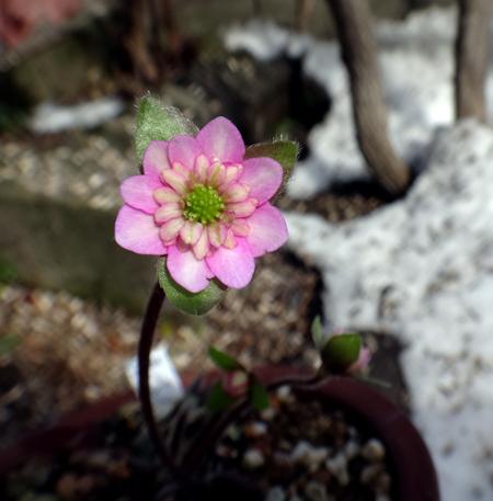 雪解けが進んだ庭の花一輪♪_a0136293_1939330.jpg