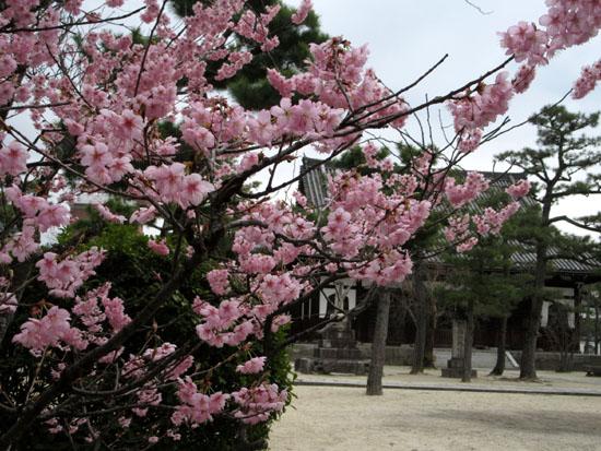 16さくらだより3 知恩寺のフジ桜_e0048413_16141686.jpg