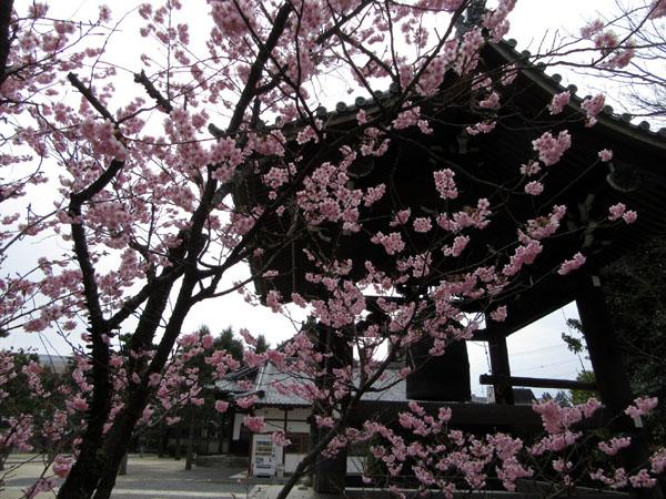 16さくらだより3 知恩寺のフジ桜_e0048413_16142896.jpg