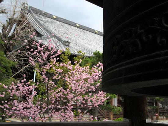 16さくらだより3 知恩寺のフジ桜_e0048413_1614428.jpg