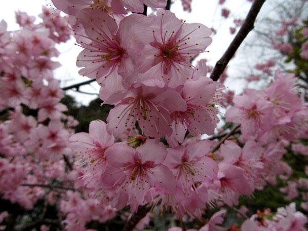 16さくらだより3 知恩寺のフジ桜_e0048413_16151886.jpg
