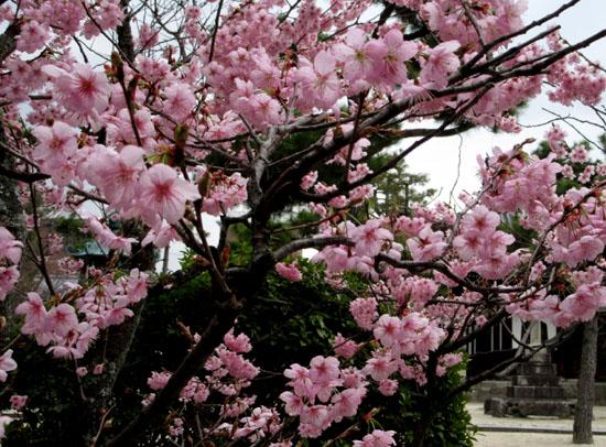 16さくらだより3 知恩寺のフジ桜_e0048413_1615324.jpg