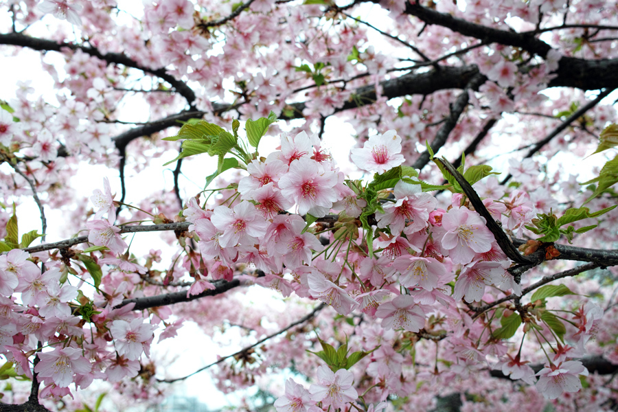 河津桜が満開の松戸・坂川_c0223825_01020921.jpg