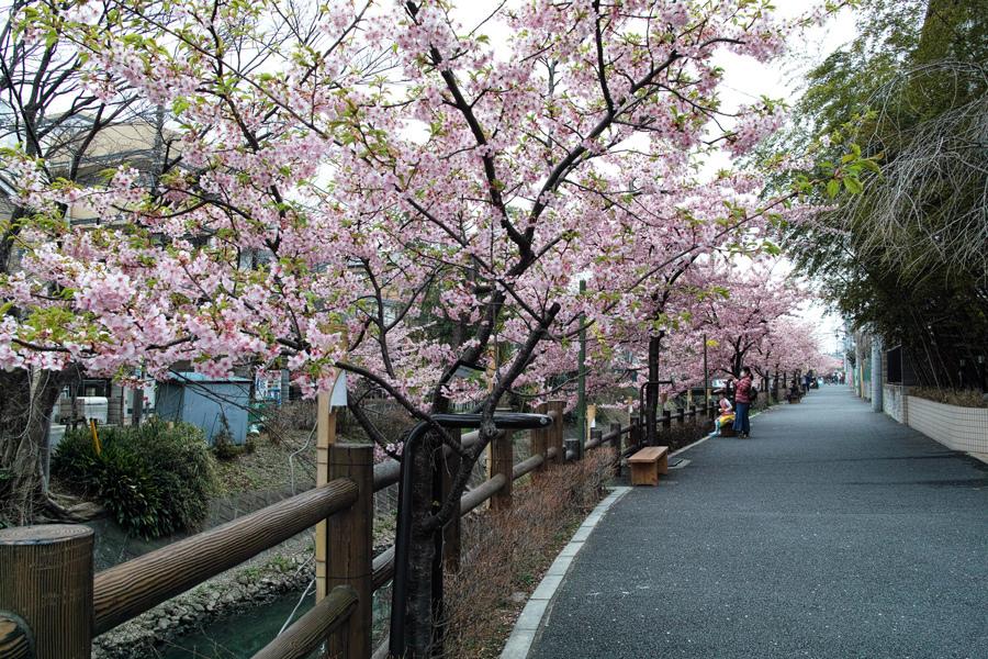 河津桜が満開の松戸・坂川_c0223825_01072006.jpg