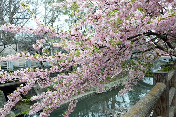 河津桜が満開の松戸・坂川_c0223825_01205427.jpg