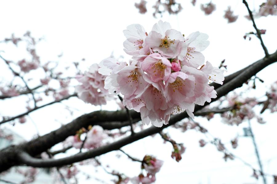 河津桜が満開の松戸・坂川_c0223825_01273645.jpg