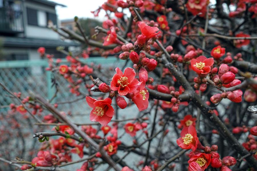 河津桜が満開の松戸・坂川_c0223825_01302863.jpg