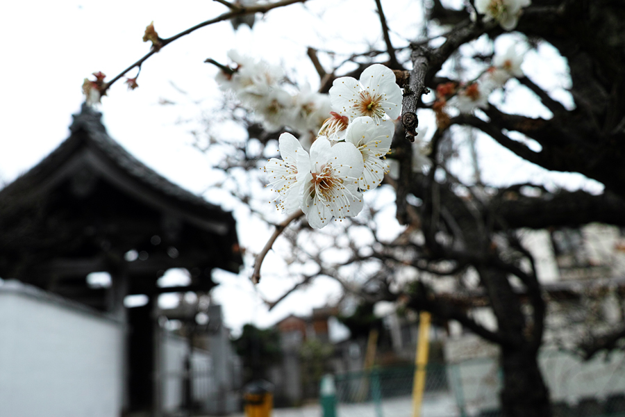 河津桜が満開の松戸・坂川_c0223825_01342552.jpg